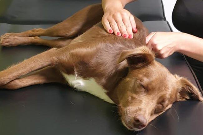 Hunde Wellnessmassage Reiki
